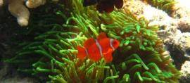 365Indonesia Day 47 - Anemon Fish in Derawan Island, East Kalimantan