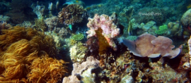365Indonesia Hari 32 - Pemandangan Bawah Laut Pulau Sangalaki