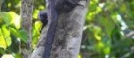 A New Komodo's Family Member Found In Indonesia