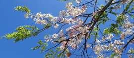 Tak Perlu ke Jepang, 5 Tempat di Indonesia ini ada Bunga Sakura
