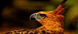 'Garuda' Sang penguasa Langit Jawa yang Langka