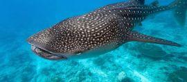 Ini 3 Lokasi Diving di Indonesia yang Bisa Bertemu Ikan Terbesar di Dunia