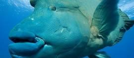 Napoleon, Ikan dari Indonesia Berharga Ratusan Dollar yang Menjadi Simbol Status Sosial di Hongkong