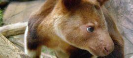 Tak Hanya Ada di Australia, Inilah Berbagai Jenis Kanguru di Hutan Papua