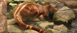 Kanguru dari Indonesia. Terima Kasih Alam Papua