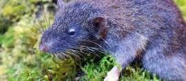 Wow! Tikus Akar Sulawesi Masuk dalam 10 Penemuan Terpenting 2017