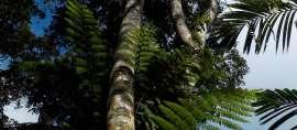 Mahasiswa IPB Temukan Cara Atasi Infeksi Gunakan Daun Pohon Langka Ini