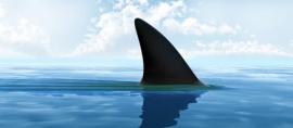 Shark in Safe Haven