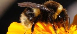 Spesies Lebah-lebah ini hanya ada di Indonesia