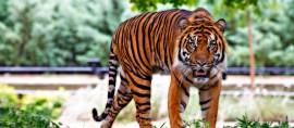 Kebun Binatang di Yunani Kampanyekan Pelestarian Harimau Sumatera