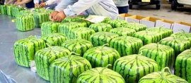 World's First Square Melon