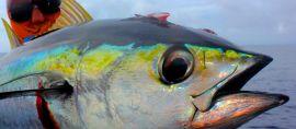 "Ikan Seharga ""Alphard"" dari Indonesia yang Menjadi Incaran Dunia"