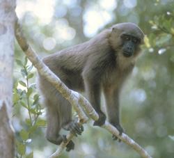 Mentawai Macaque