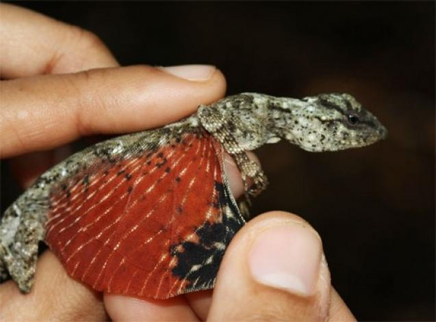 flying-tiny-dragon-lizard-2