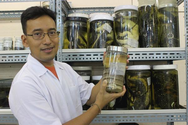 Amir Hamidy menunjukkan spesimen ular tikus Enggano (Foto: Rahmadi Rahmad / Mongabay.co.id)