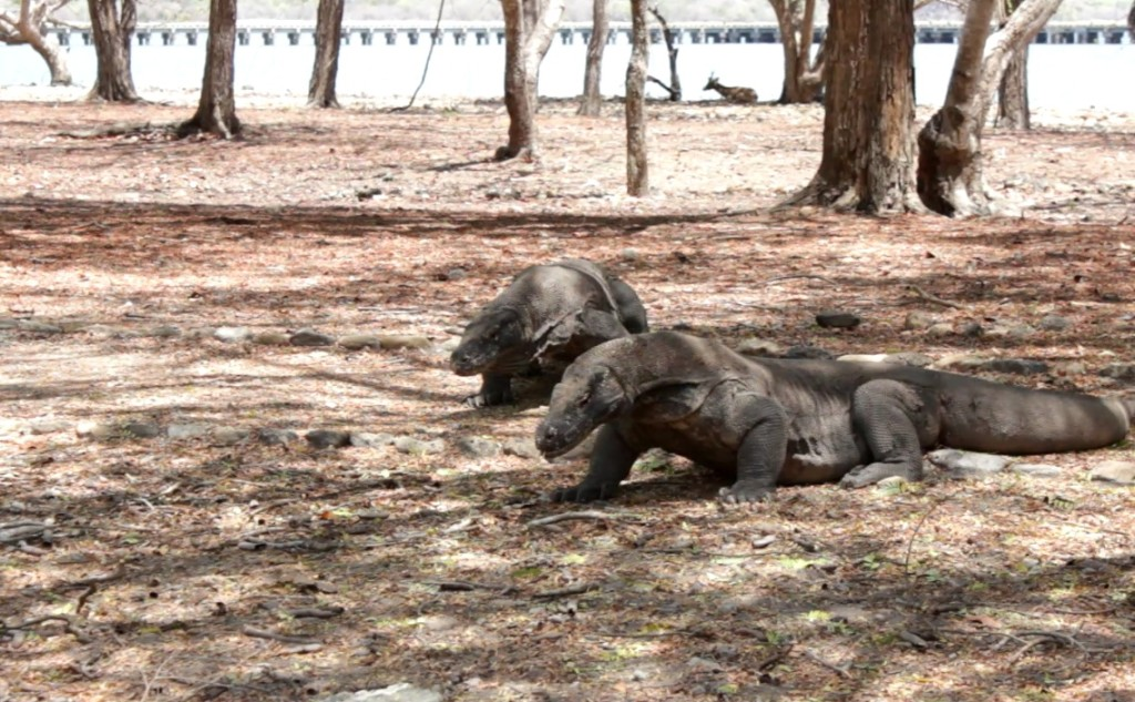 Komodo di Pulau Komodo Loh Liang (Foto: Bagus DR)