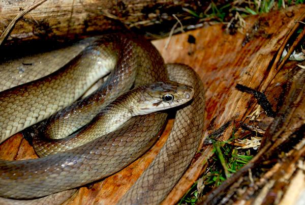 Ular Tikus Enggano (Foto: Ramhadmi Rahmad / mongabay.co.id)