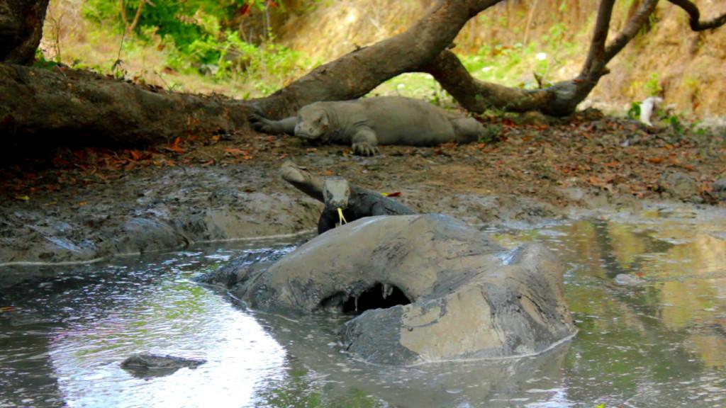 Komodo Muda yang memangsa bangkai Kerbau di kubangan (Foto: Bagus DR / GNFI)
