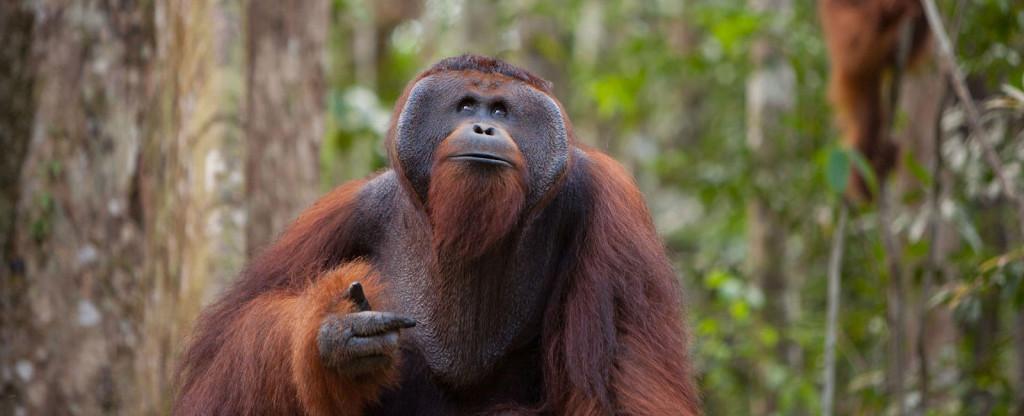 Orang Utan yang berada di Tanjung Puting (Foto: Orangutan.org)