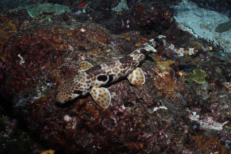 Spesies Hemiscyllium freycineti   Foto: Dwikie Dewantoro/Conservation International