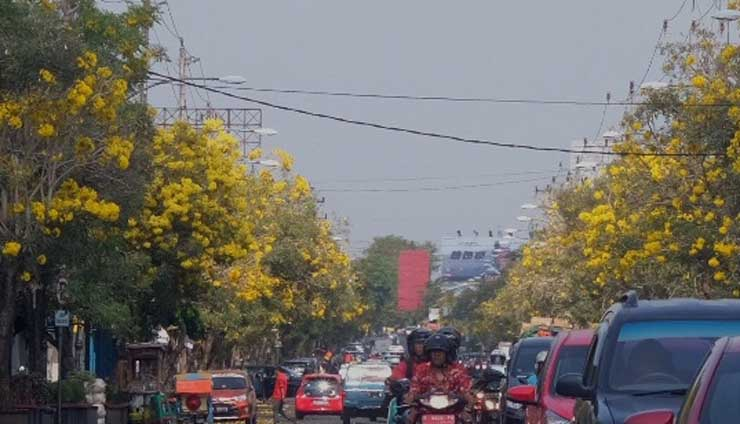 Bunga Tabebuya di Purwokerto | Foto: Radar Banyumas