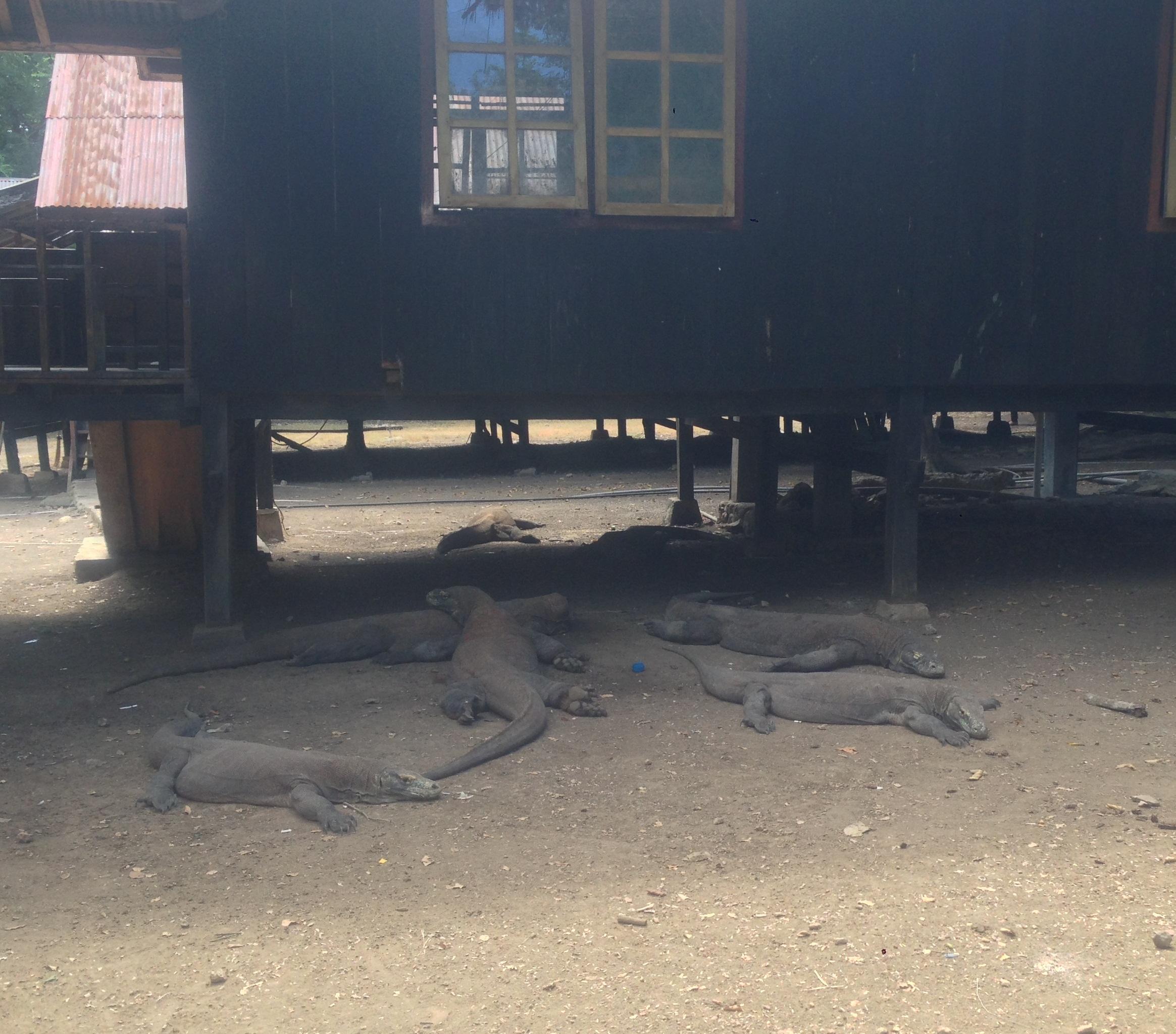 Kumpulan Komodo yang sedang bermalas - malasan (Dokumentasi Pribadi)