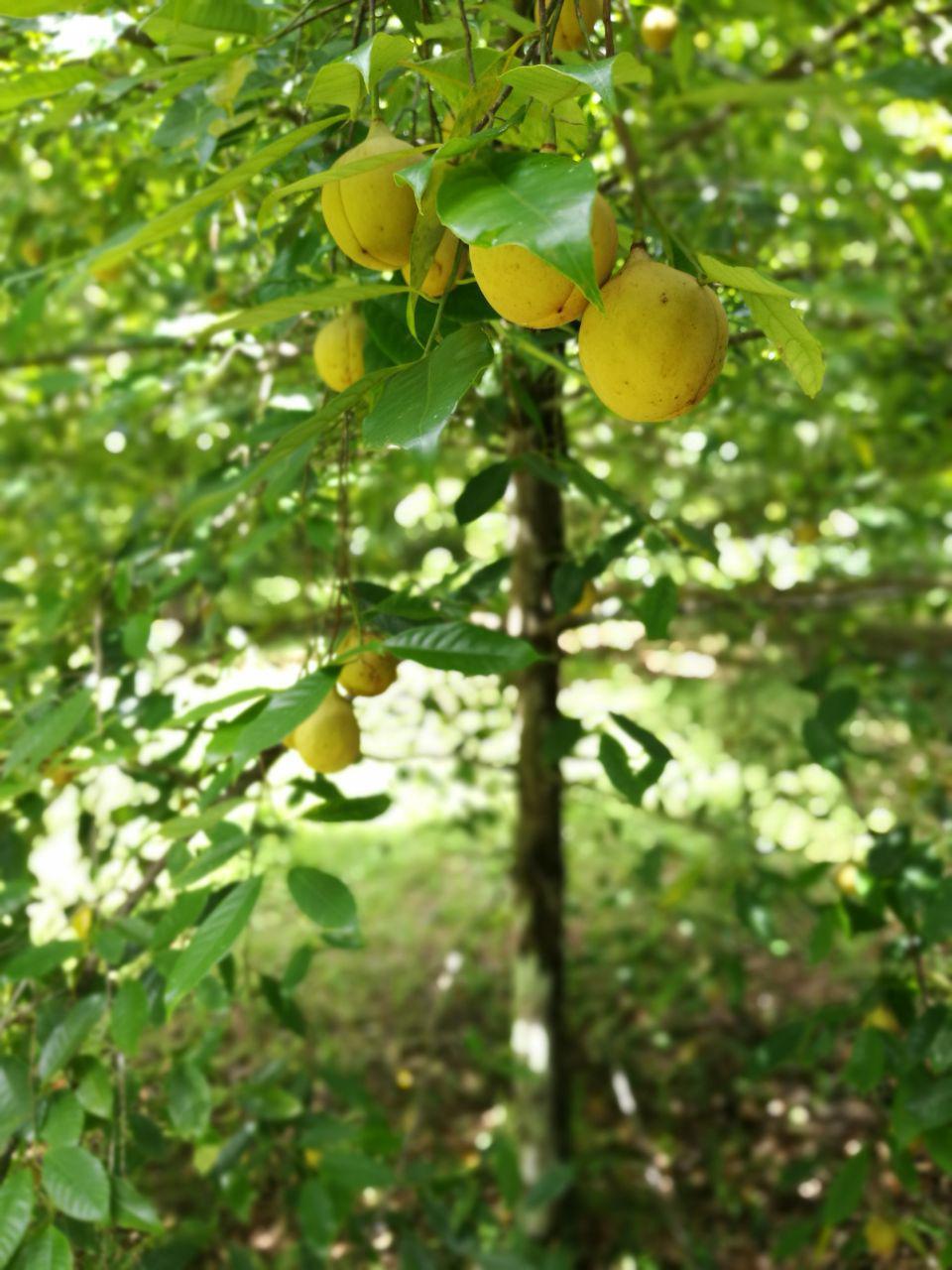 Buah Pala di pohonnya | Akhyari Hananto
