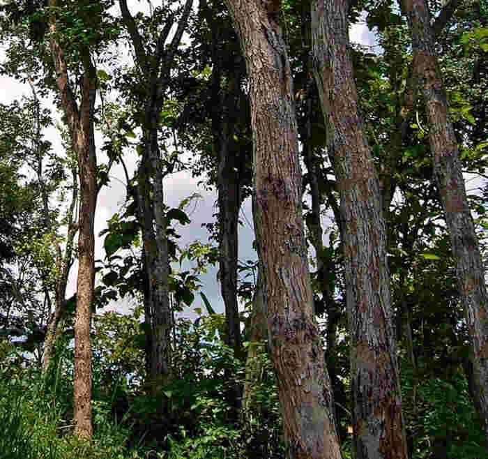 Pohon Sonokeling (Dalbergia latifolia) | alamendah