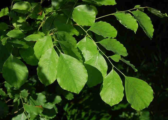 Daun Sonokeling (Dalbergia latifolia)