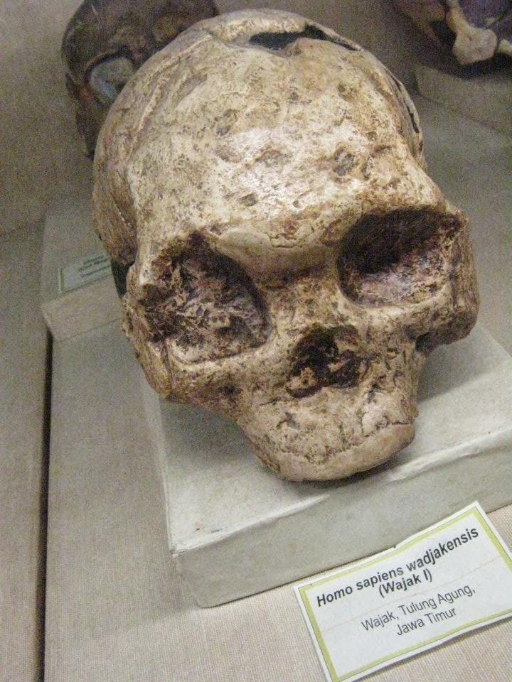 Fosil Manusia Purban Homo Wajakensis