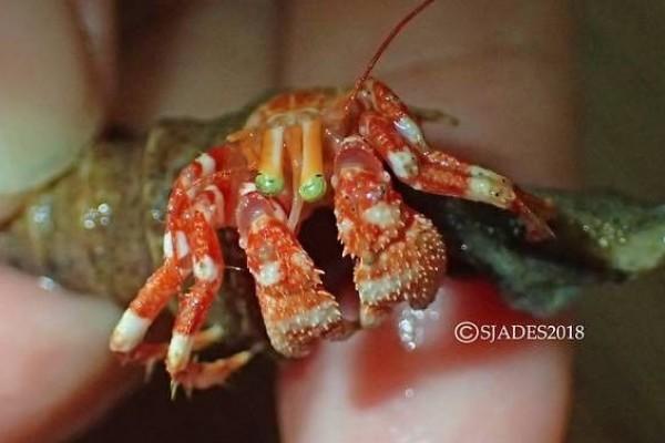 Bentuk Salah Satu Spesies yang Ditemukan di Perairan Jawa