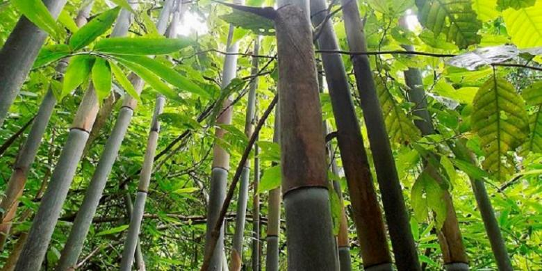 Bambu dengan kulit pelepah berwarna keunguan ini ditemukan oleh para peneliti bambu dari LIPI (Foto: I Putu Gede P Damayanto)