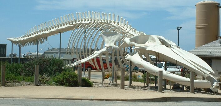 Blue whale skeleton ilustration