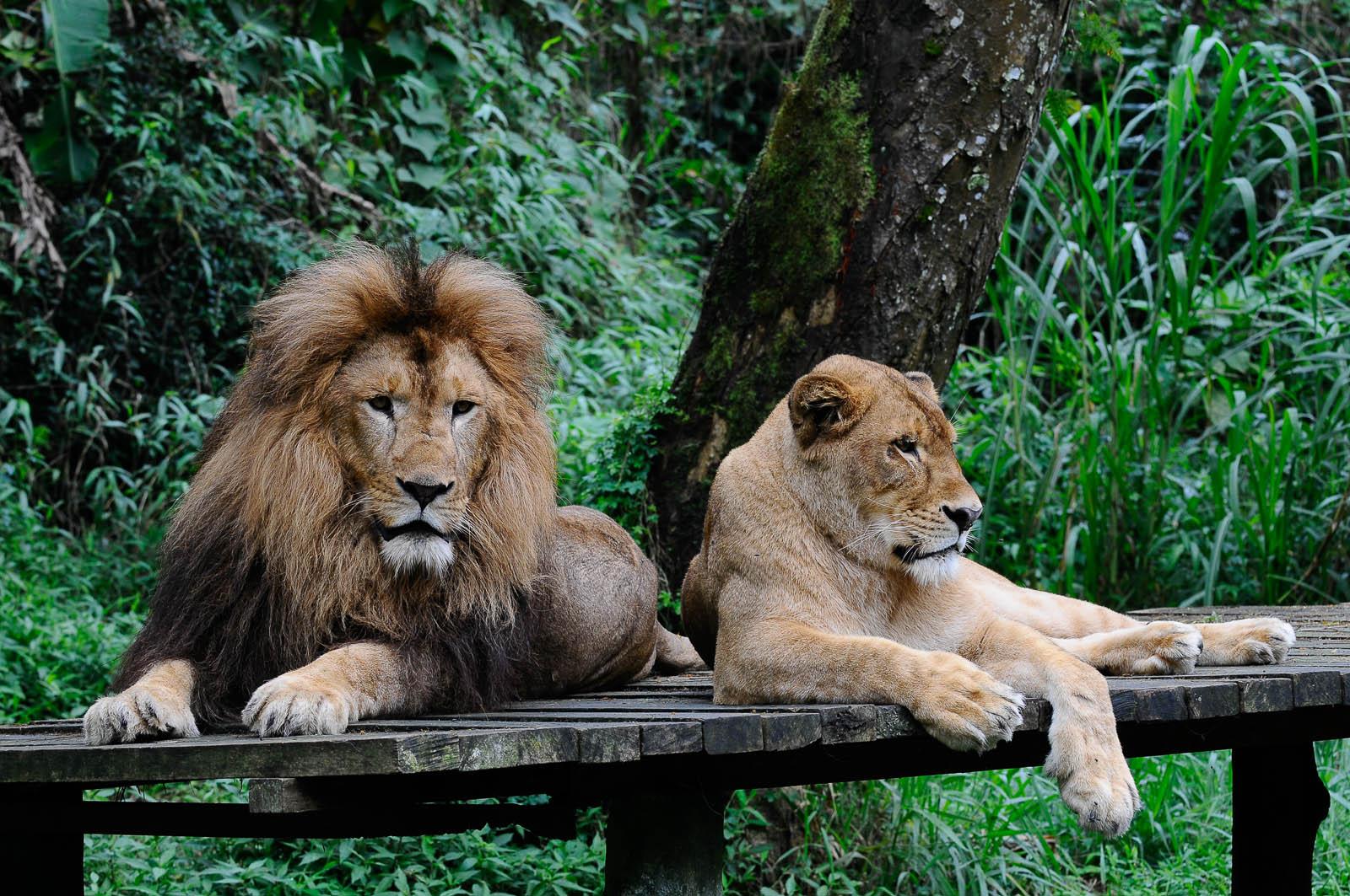 Untuk membuat singa dan harimau tenang biasanya para Keeper terlebih dahulu membuat mereka kenyang (foto: Wonderful Indonesia)