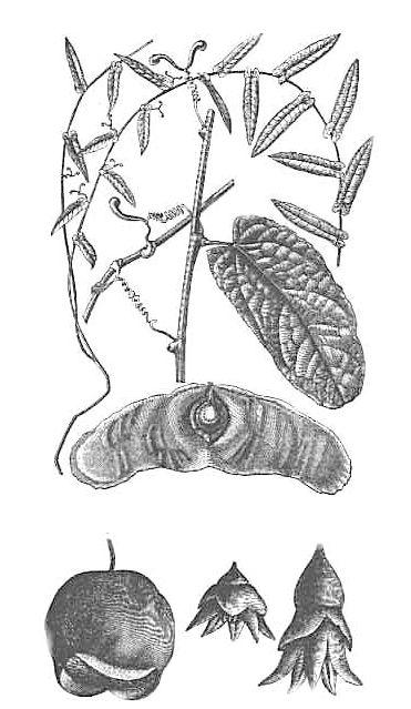 Biji terbang Alsomitra macrocarpa (foto: wikimedia)