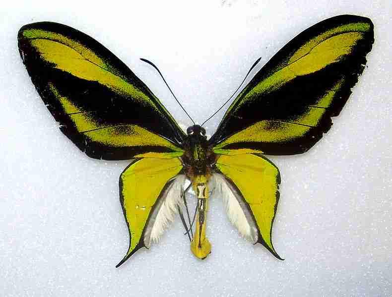 Ornithoptera paradisea, kupu-kupu sayap burung surga