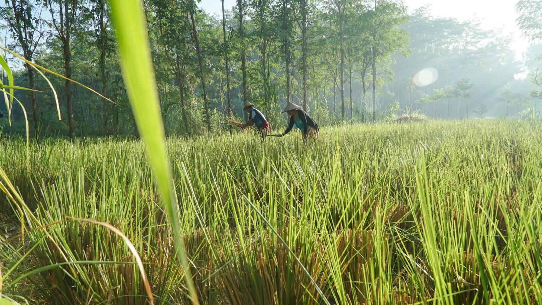 Rumput vetiver juga mampu mencegah erosi karena akarnya yang serabut dan batangnya yang kuat (source image: naga-indo.com)