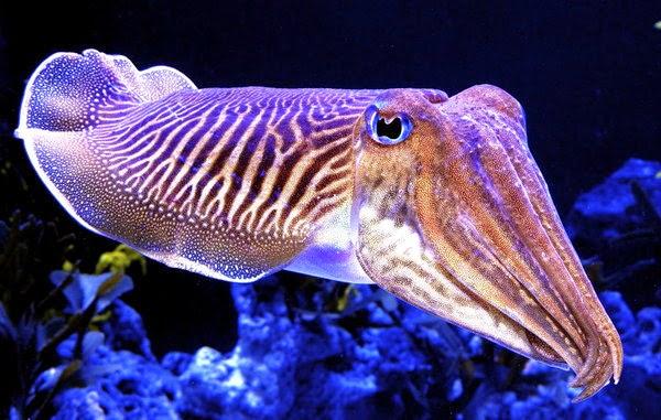 Sotong/cuttlefish   Foto : www.edubio.info