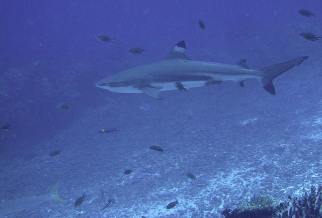 Hiu karang sirip hitam (C. melanopterus) yang banyak ditemukan di Raja Ampat (Foto: Abraham Sianipar / Flickr.com)