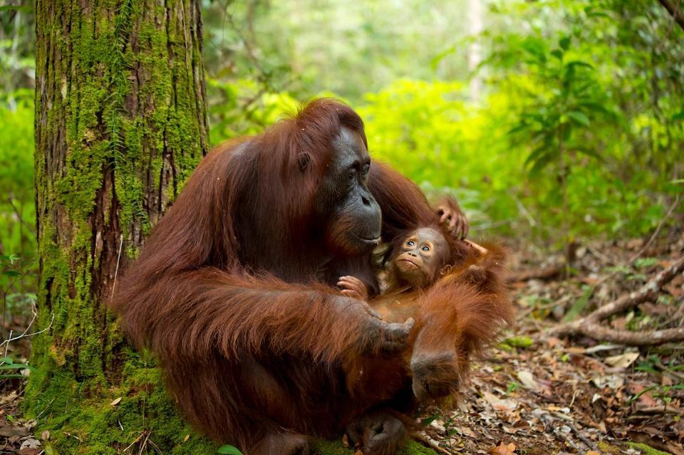 Orangutan induk bersama anaknya (Foto: iStock via Forbes)