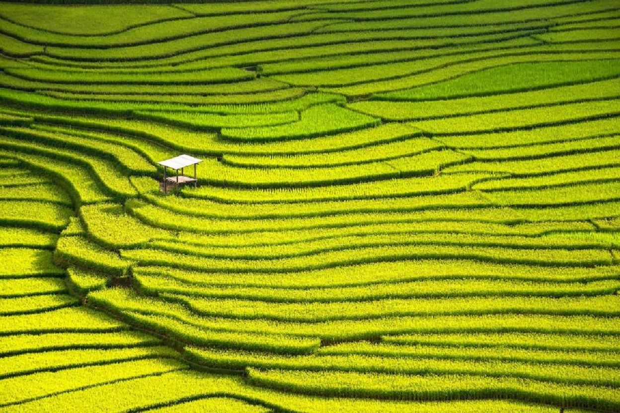 Hamparan sawah di Tiongkok (Foto: iStock via Forbes)