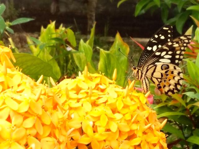 Kupu-kupu di kebun kupu-kupu Daawia (Foto: Astrdia Elisabeth / Mongabay Indonesia)