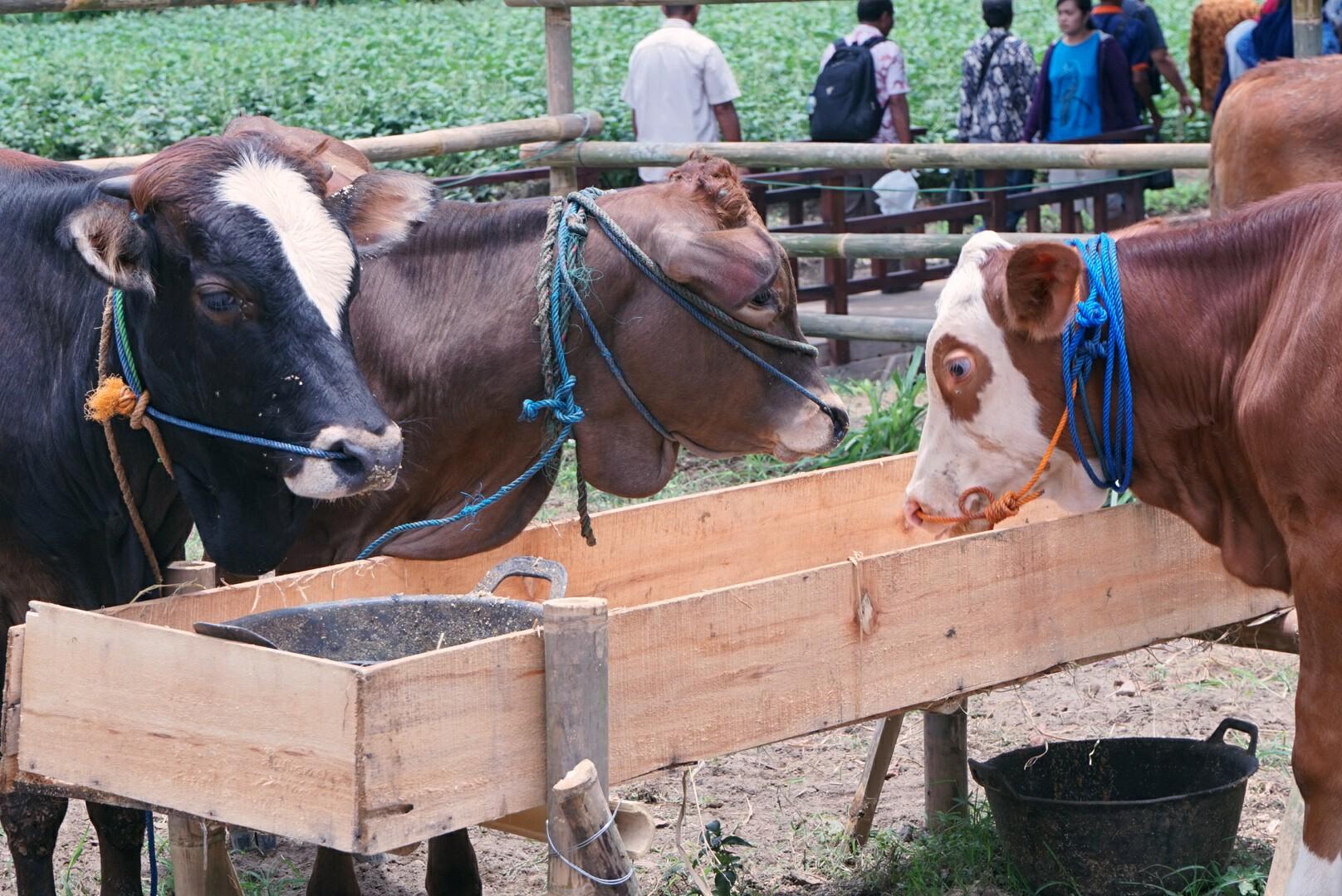 Sudut peternakan di HPS ke-36 (Foto: Bagus DR / GNFI)