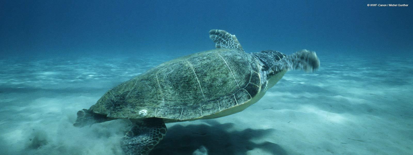 Penyu Tempayan (Foto: Michael Gunther / WWF)