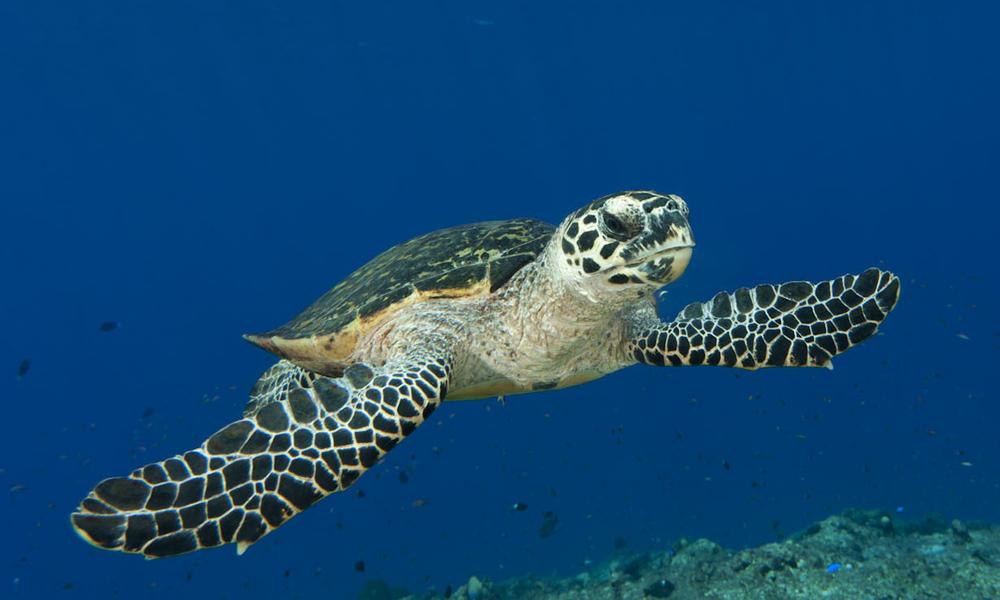 Penyu Sisik (Foto: Jurgen Freund / WWF)