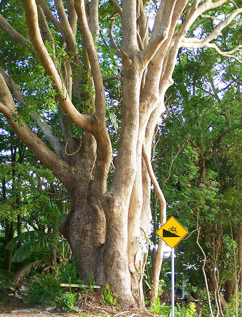 Pohon Barus (Foto: 08hachi.blogspot.co.id)