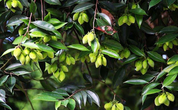 Buah dan daun pohon Gaharu (Foto: biftah.com)