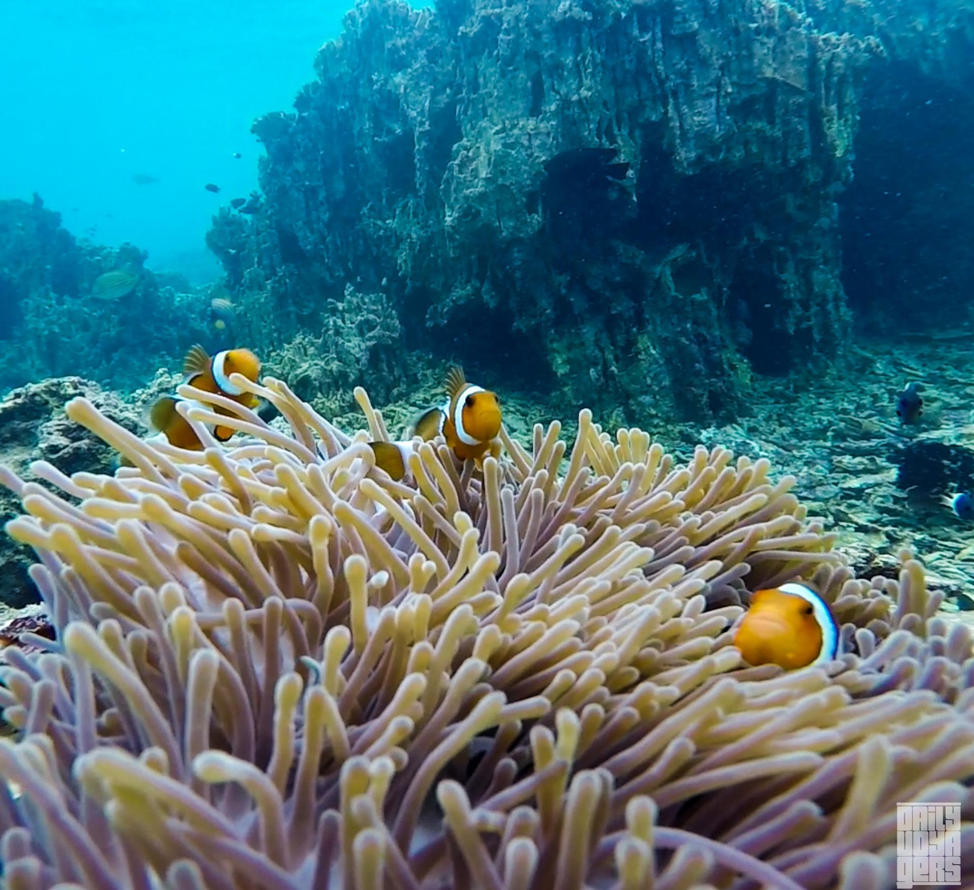 Nemo-nemo di Laut Rubiah   Foto: Daily Voyagers