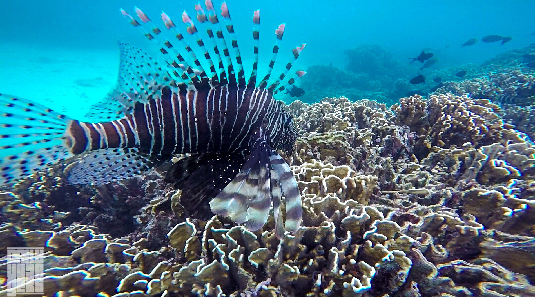 Say hello to Lionfish in Rubiah! | Foto: Daily Voyagers