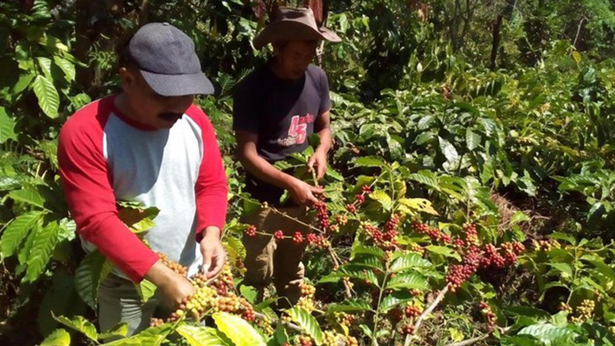 Petani sedang memanen kopi Muria di Lereng Gunung Muria | Foto: Akrom Hazami/detik.com